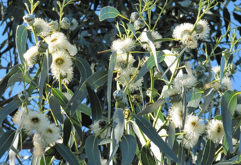 Blauwe gomboom (Eucalyptus globulus)  De Kruidenwereld