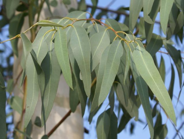 Eucalyptus (Eucalyptus)