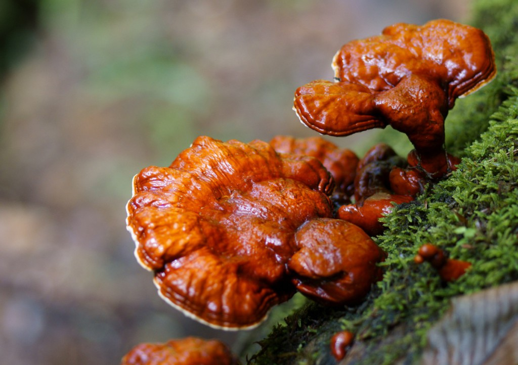 Ganoderma (Ganoderma lucidum)