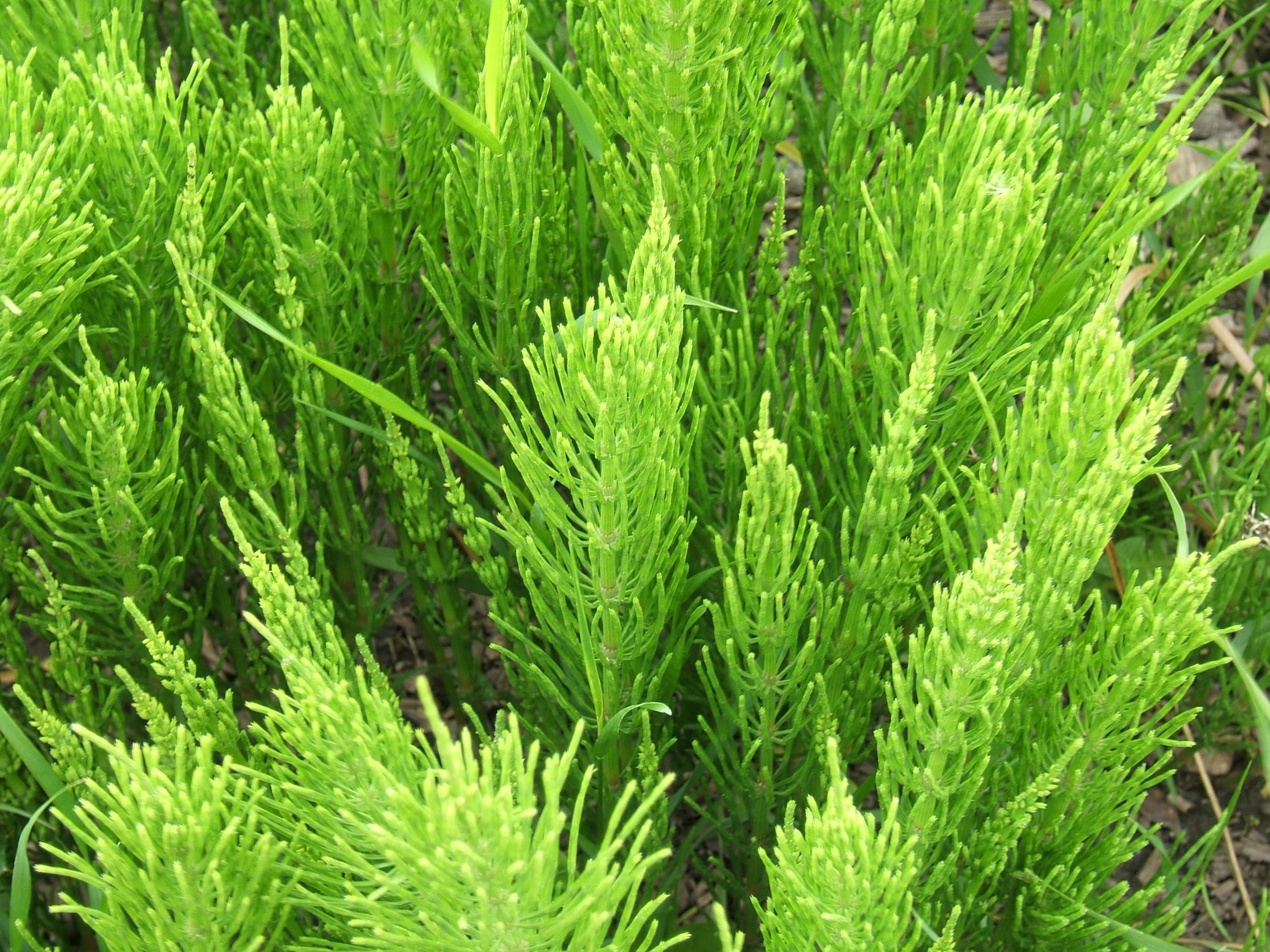 Heermoes (Equisetum arvense) | De Kruidenwereld