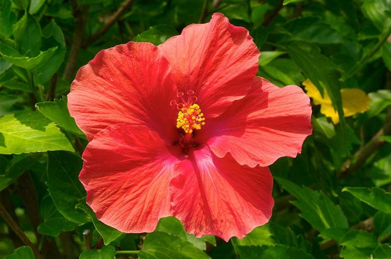 Hibiscus (Hibiscus)