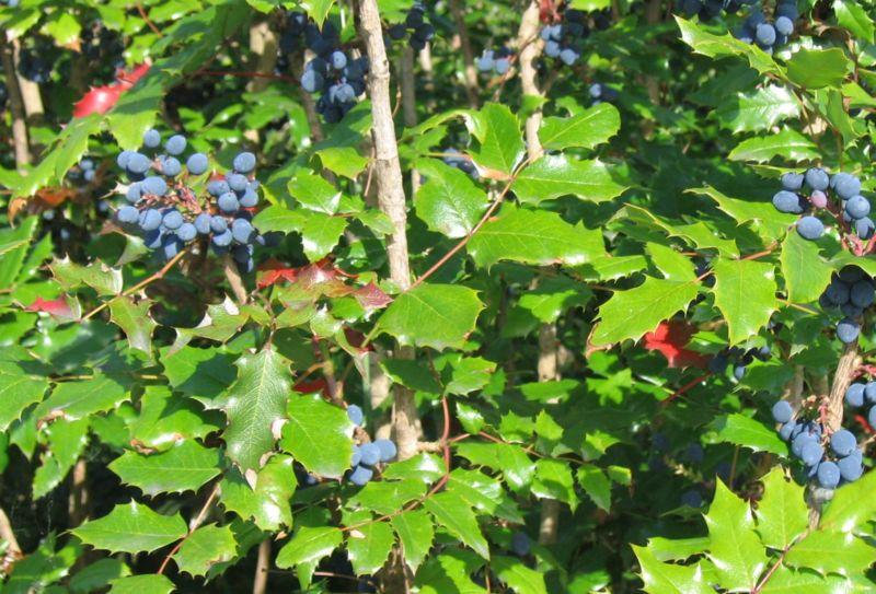 Mahonia (Berberis aquifolium)