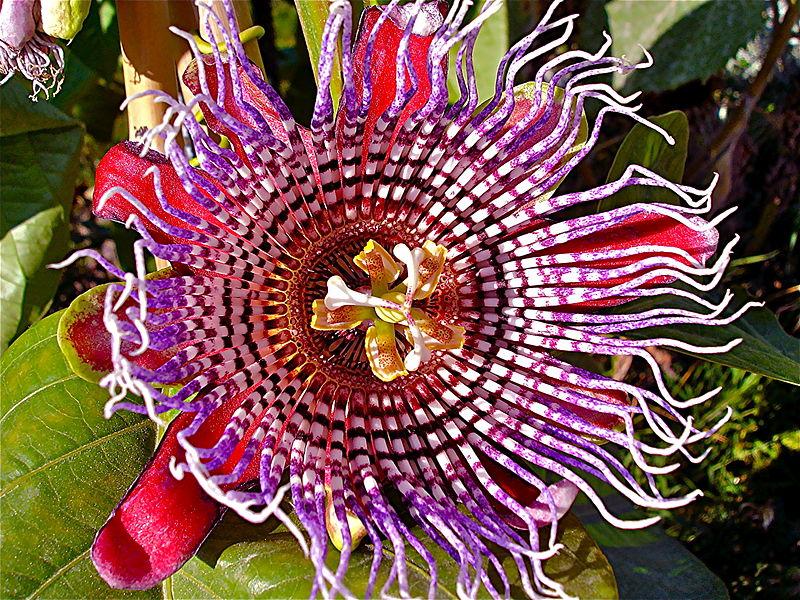 Passiebloem (Passiflora incarnata)