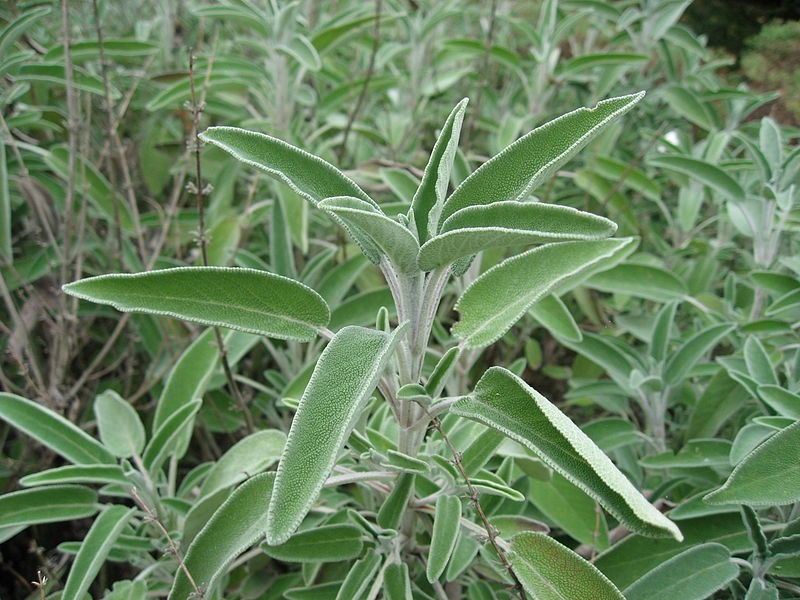 Echte salie (Salvia officinalis)