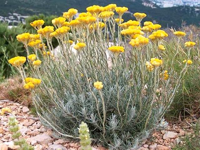 Strobloem (Helichrysum arenarium)