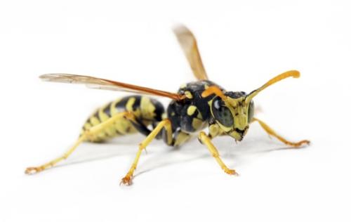 zwelling na bijensteek