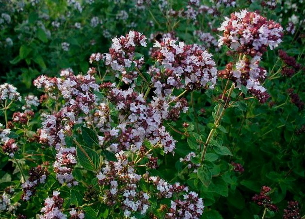 Wilde marjolein (Oríganum vulgáre)