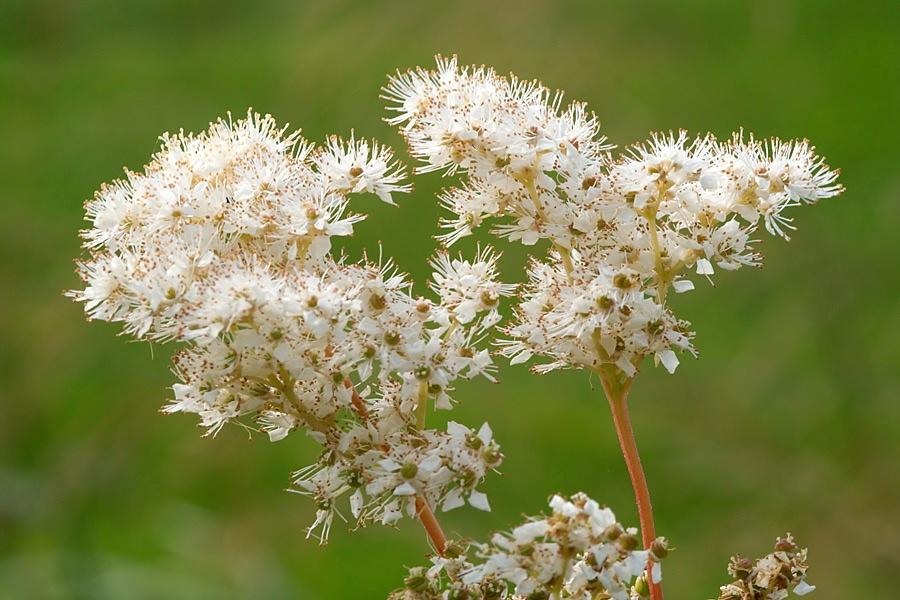 Moerasspirea (Filipendula ulmaria)