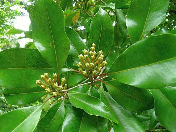 Kruidnagelboom (Syzygium aromaticum)